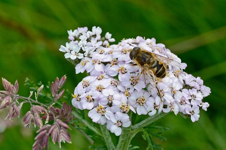 yarrow with bee