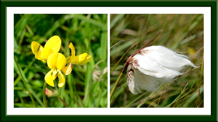 meadow vetchling and bog cotton