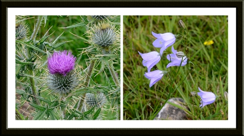 thistle and harebell
