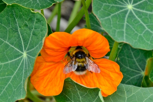 bee on nastirtium