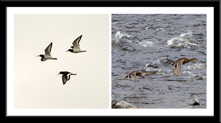 oyster catchers and mallards