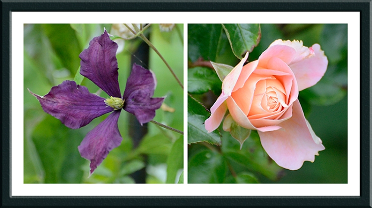 clematis and Rosa Wren