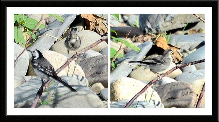 Wagtail and young