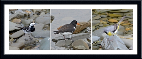 wagtails and oyster catcher
