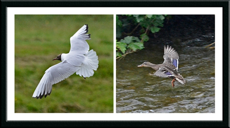 black headed gull and mallard