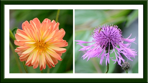 dahlia and knapweed