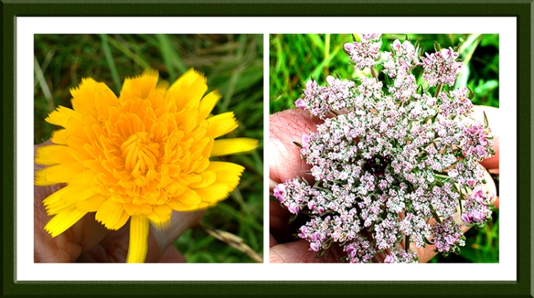 one of themany dandelion like flowers and wild carrot