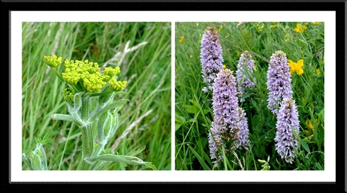 wild parsnip and spotted orchid