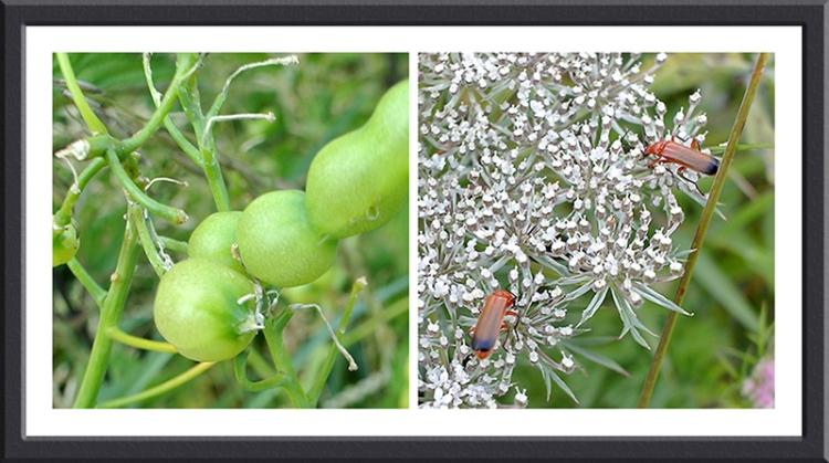 wild radish soldier beetles