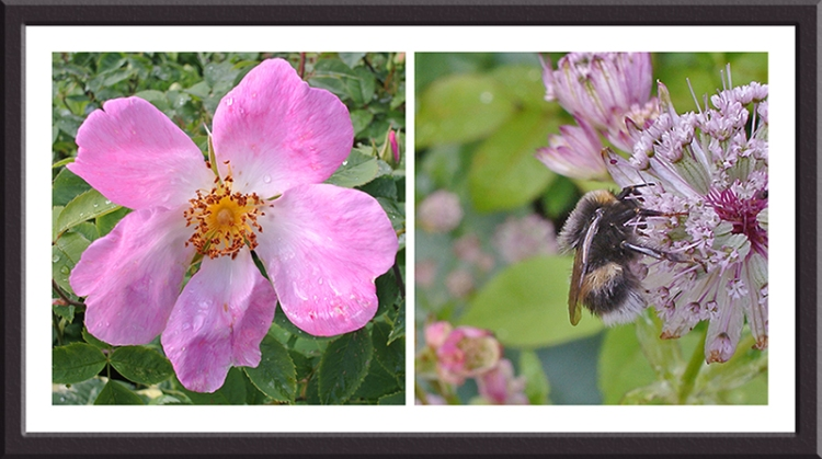 rose and bee on astrantia