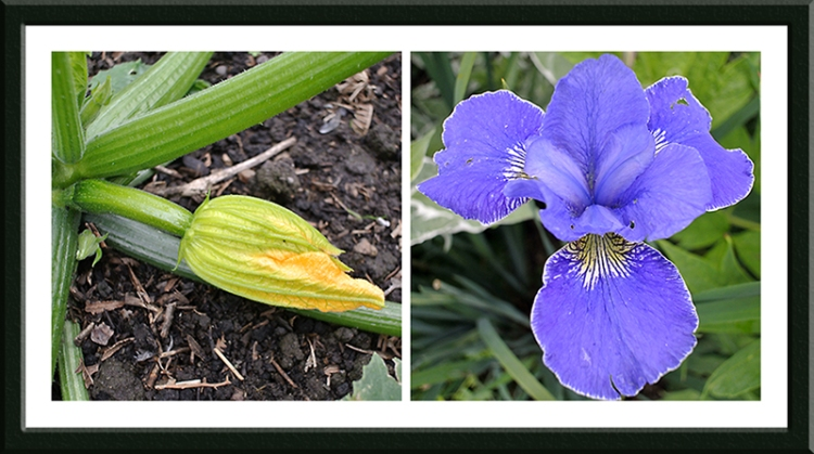 courgette and iris