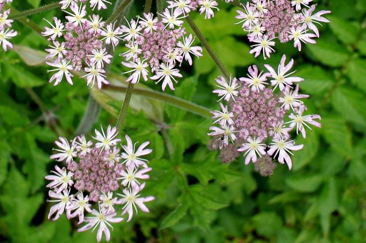 umbellifer probably hogweed