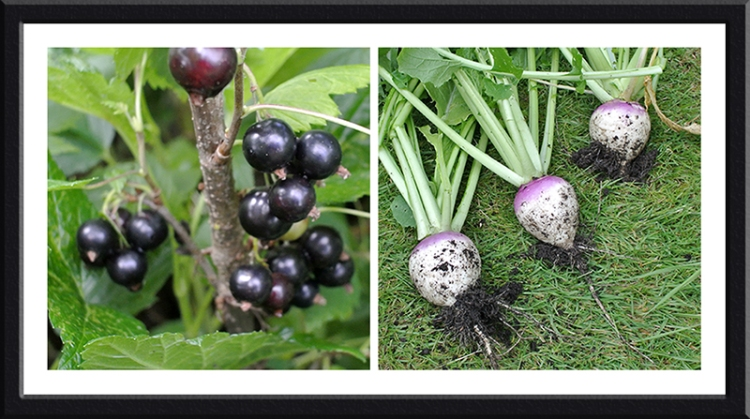 blackcurrants and turnips