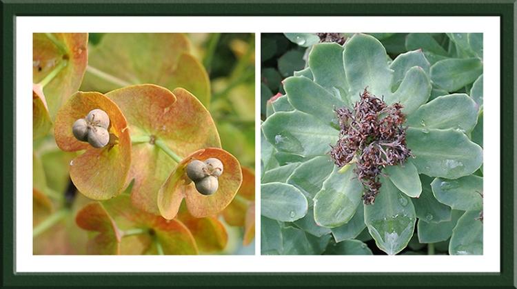 Euphorbias