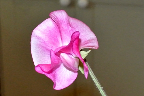 sweet pea in kitchen