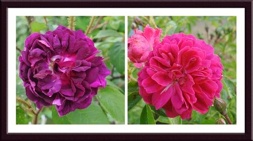 moss rose rambler rose