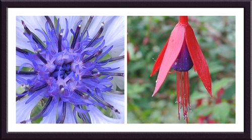 cornflower and Fuchsia
