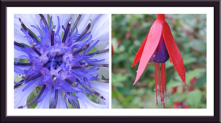 cornflower and Fuchsia