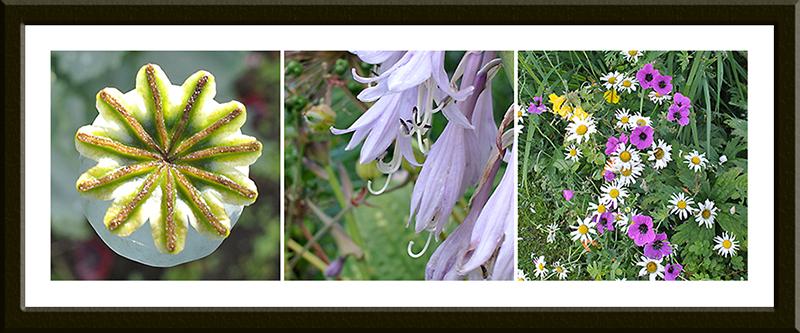 poppy, hosta, geraniums and daisies