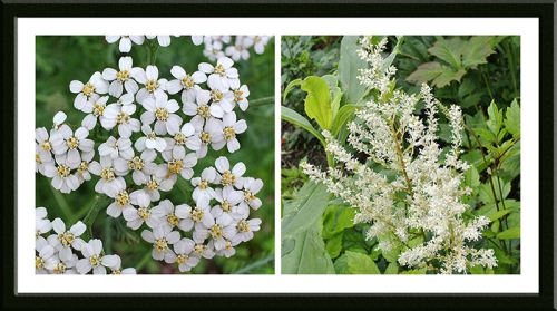 yarrow and astilbe