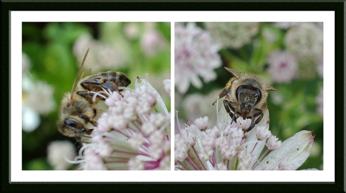 bees on astrantia