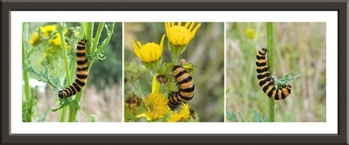 ragwort with cinnabar moth caterpillar