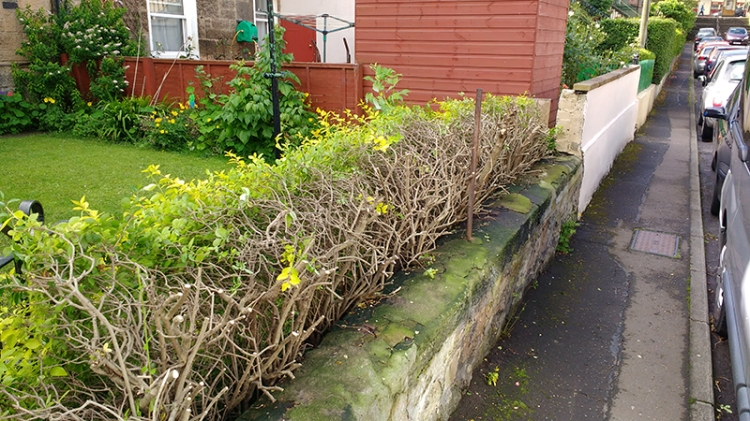 Al and Clare's hedge