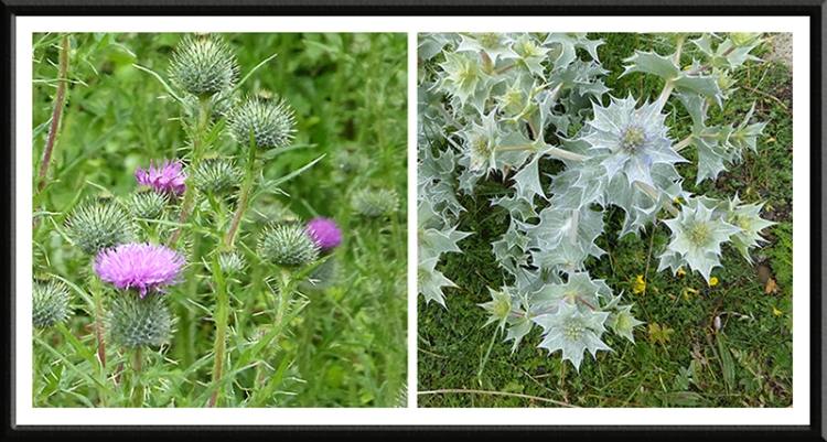 thistle and sea holly