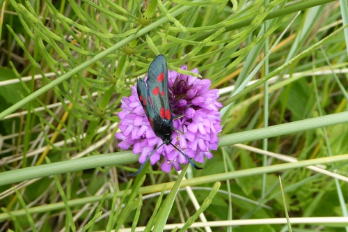 six spot burnet and pyramidal orchid