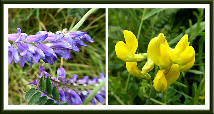 vetch and rattle