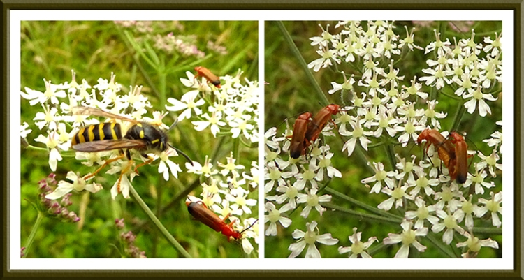 umbellifer with hoverfly and red soldier beetles