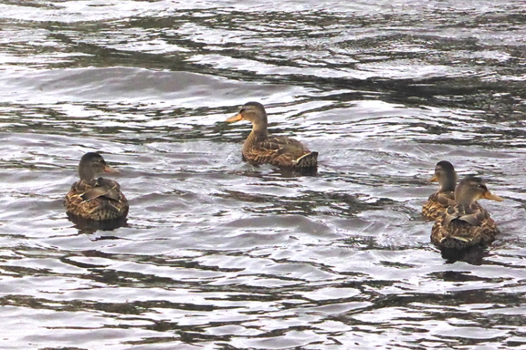 ducks on Esk
