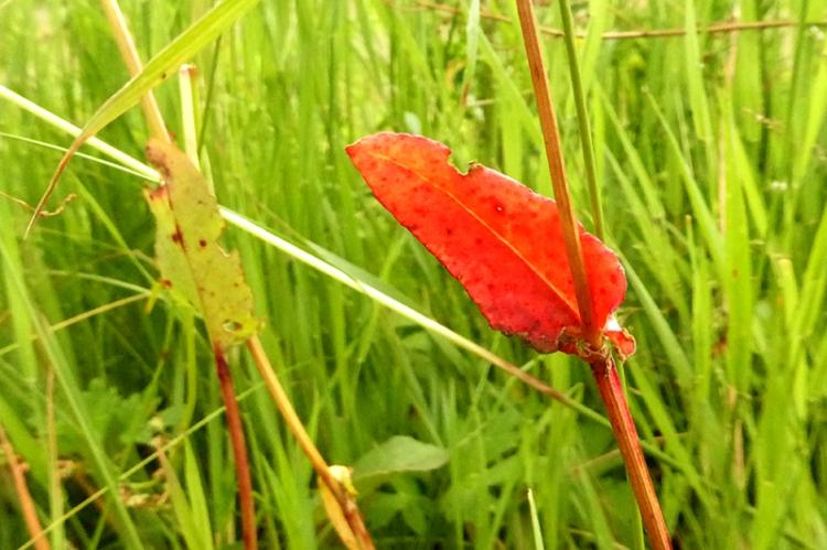dock leaf
