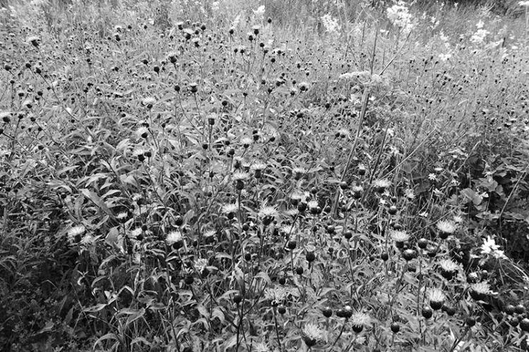 lesser knapweed