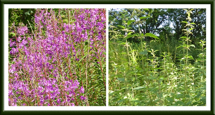 fireweed and nettles