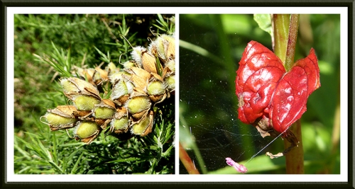 gorse seeds and red thing