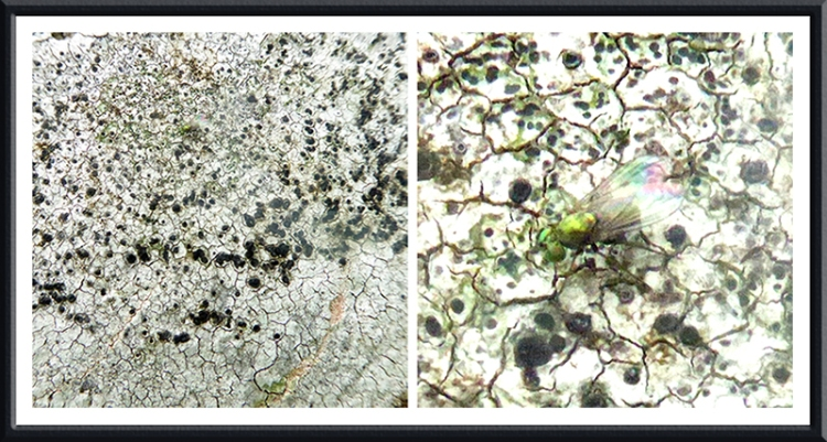 lichen with fly