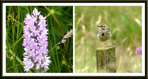 orchid and pipit