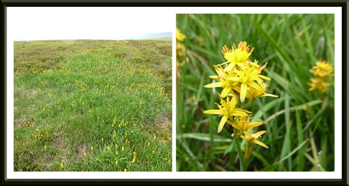 yellow flowers on Langholm Moor