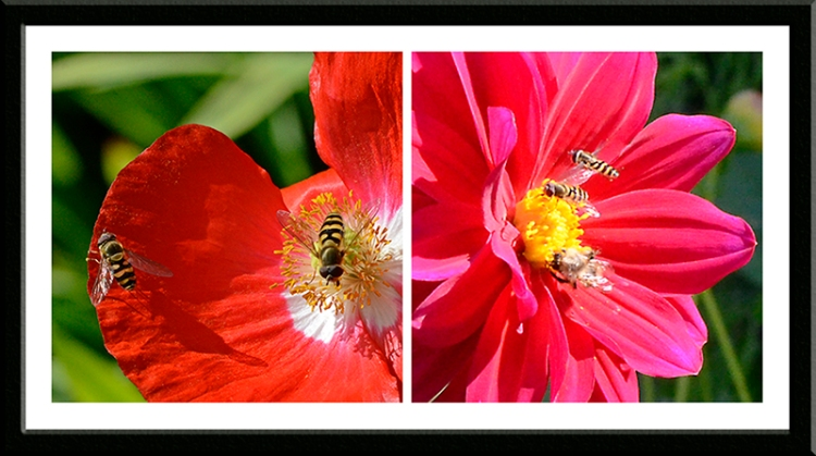 poppies with insects