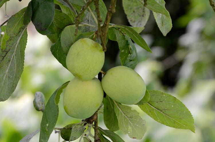 unripe plums