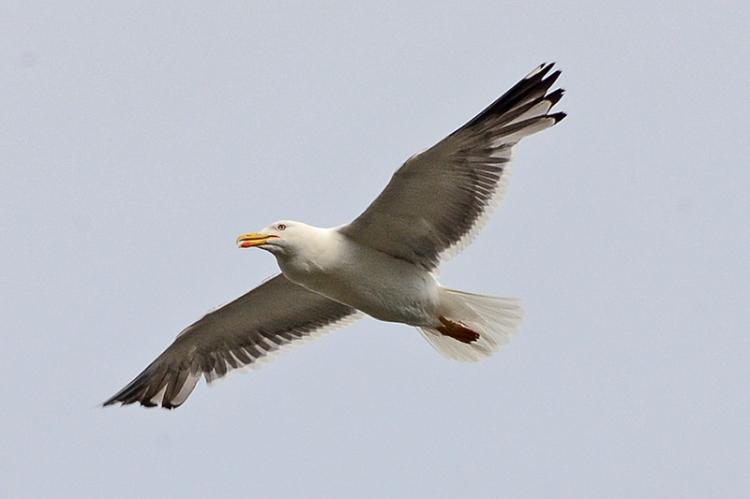 flying herring gull