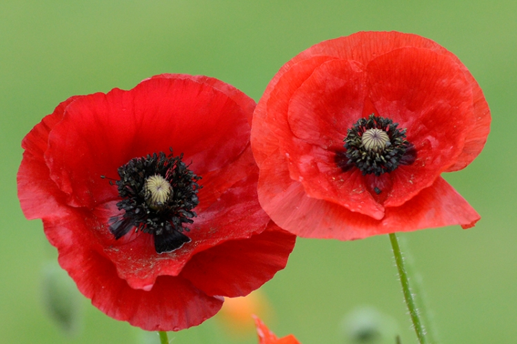 mixed poppies