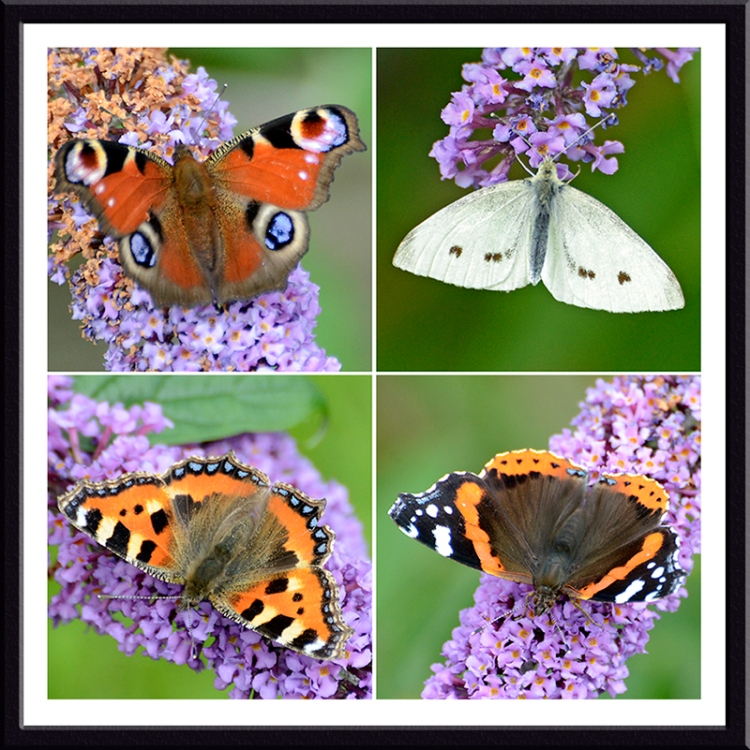 buddleia with white, tortoiseshell, red admiral and peacock butterflies