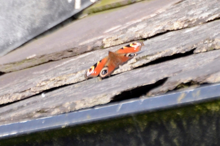 butterfly on roof