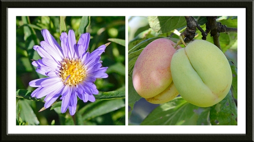 Michaelmas daisy and plums