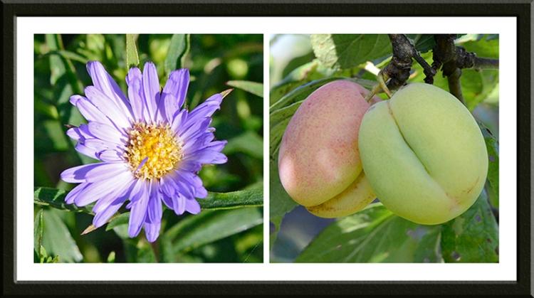 Michaelmas daisy and plums