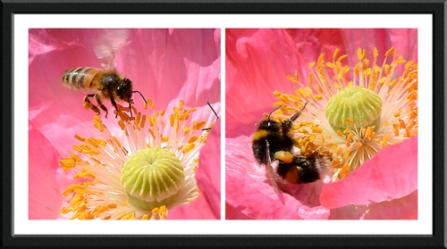poppy and insects