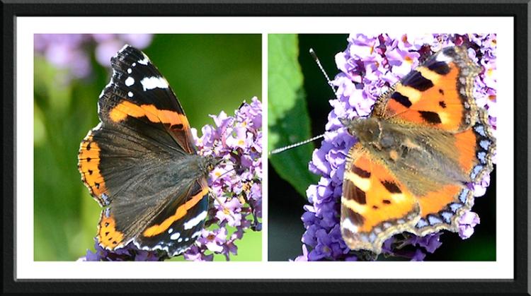 red admirtal and tortoiseshell butterflies