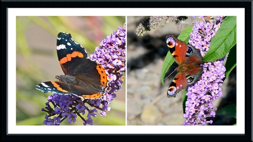 rred admiral and peacock butterflies